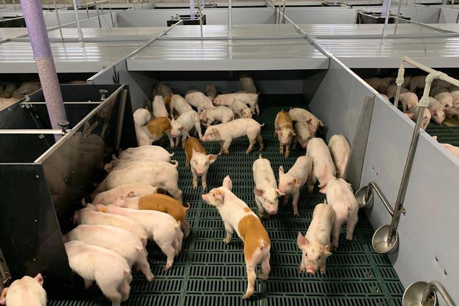 larg-scale piglet farm