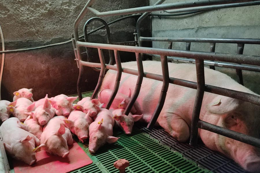 piglets and sows
