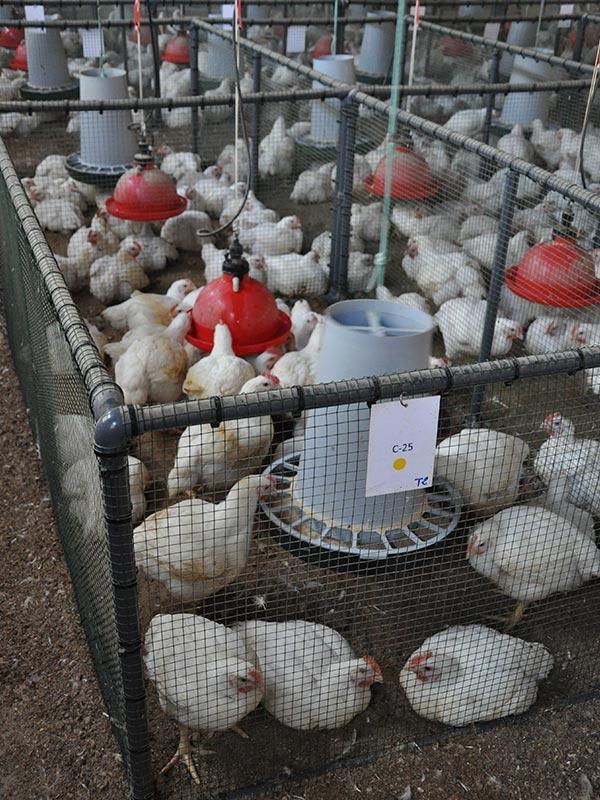 poultry farm trials