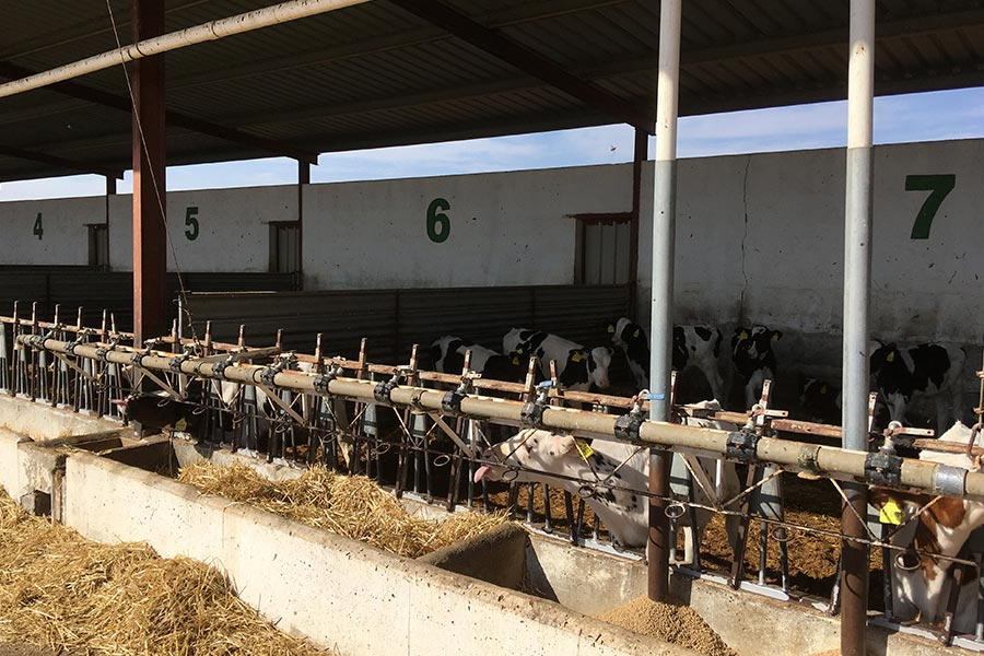 cattle trials