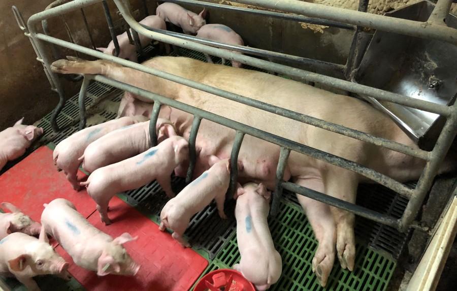 pruebas clinicas cerdos