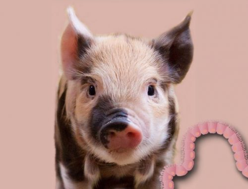 Does the piglet gut health depend on the type and level of dietary fiber?
