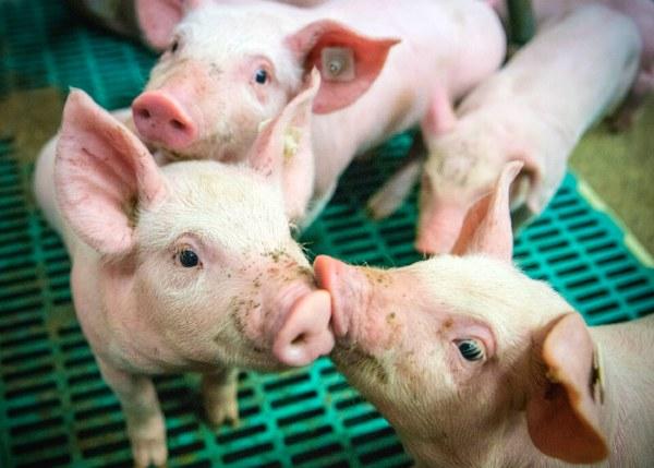 gut health piglets