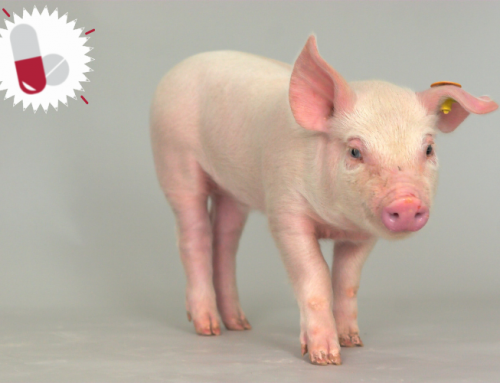 Responsible use of antibiotics in pig production – new recommendations from the FAO